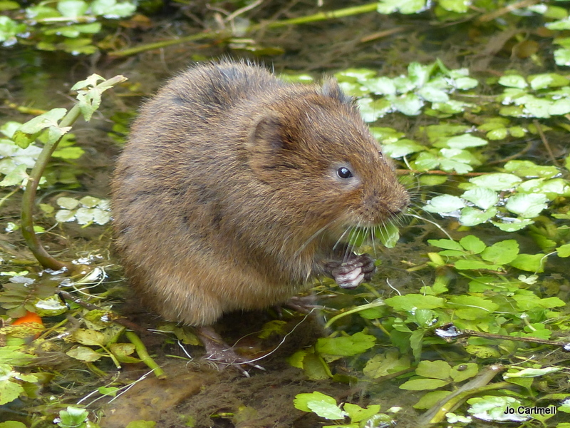 Water vole copyright Jo Cartmell