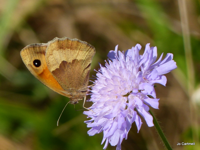 Meadow Brown butterfly on scabious