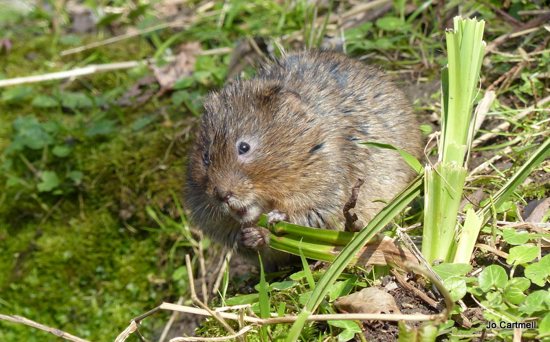 water vole (c) Jo Cartmell