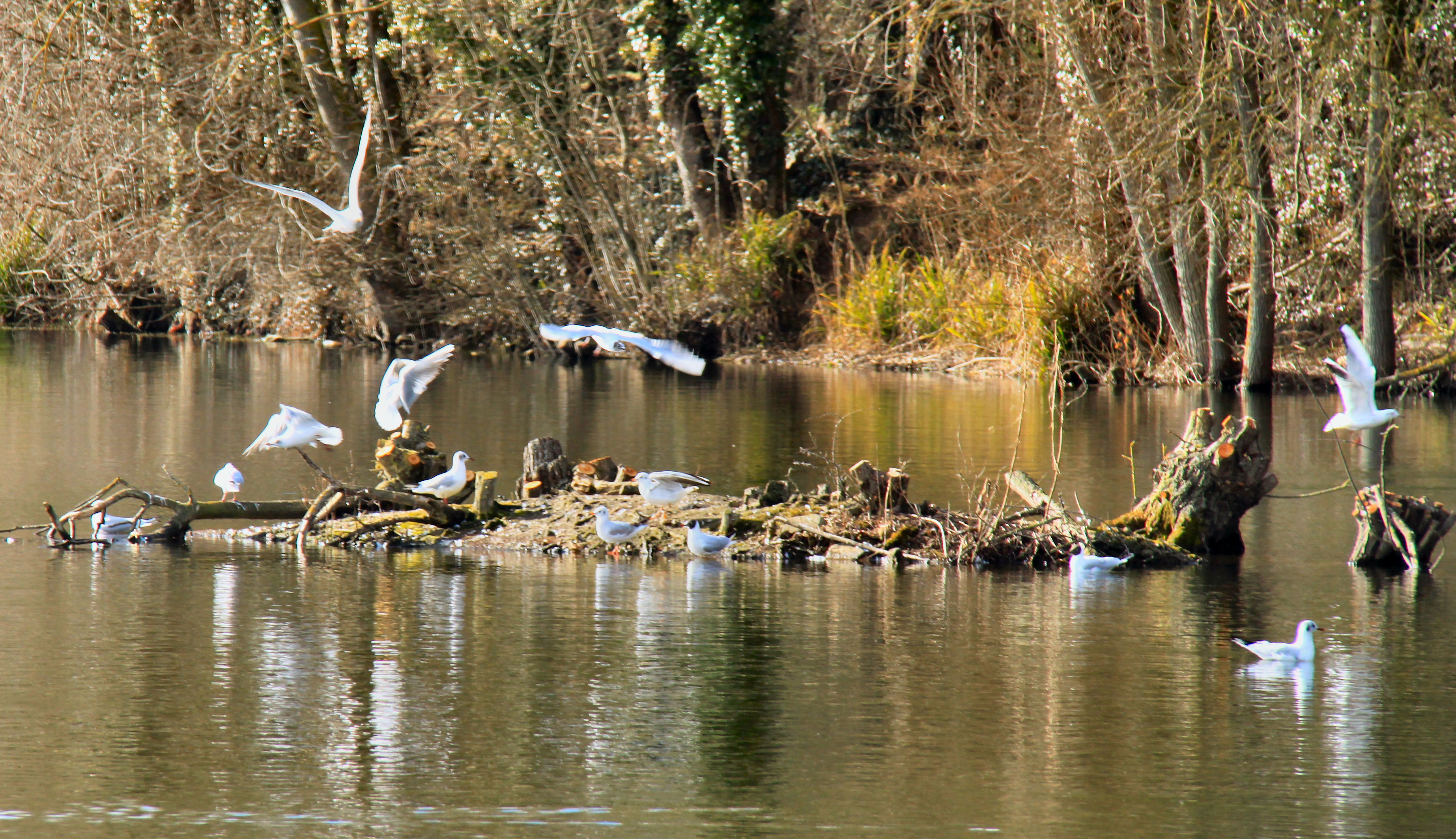 Black-headed gulls on one of the coppiced islands c Steve Stephens