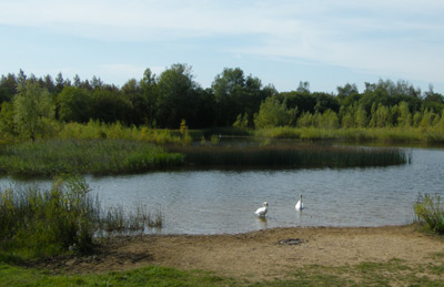 Swans at Orchard Lake (c) Jo Cartmell