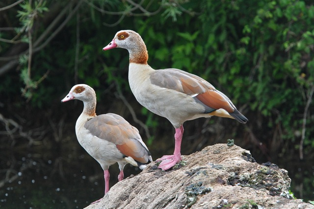 Egyptian Geese (C) Mark Chivers