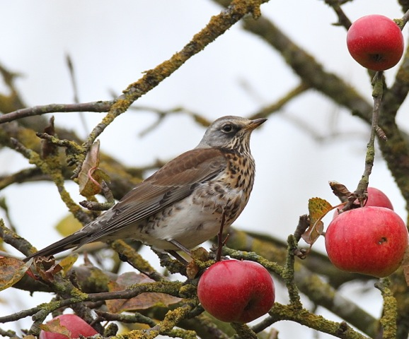 Fieldfare copyright Mark Chivers 2013
