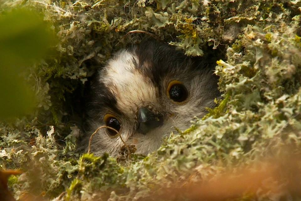 Long-tailed Tit chick peeping out of the nest c britishnaturefilms.com
