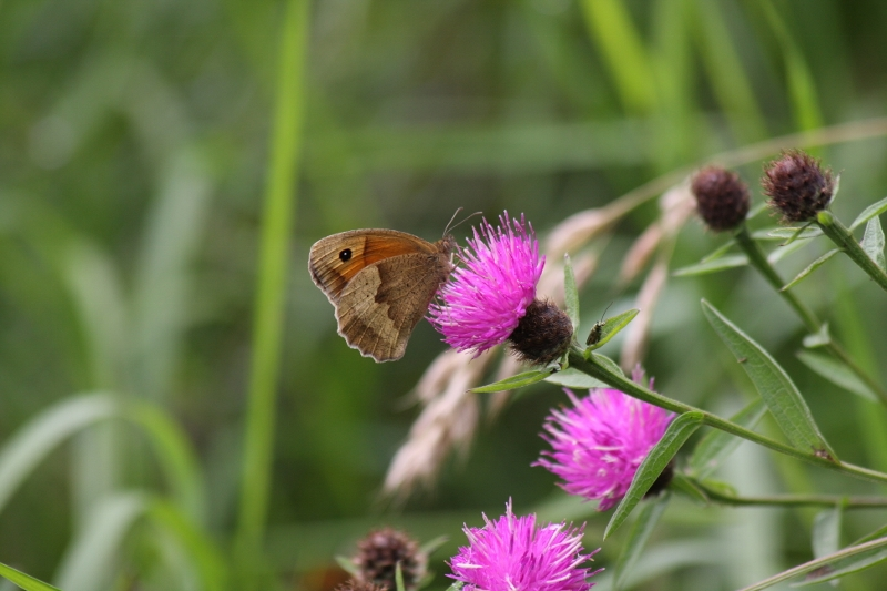 Meadow brown Butterfly on Knapweed copyright Jo Cartmell