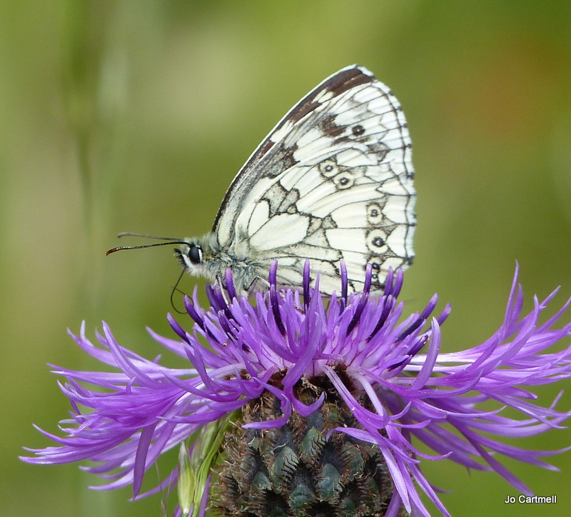 Marbled White butterfly on Greater Knapweed