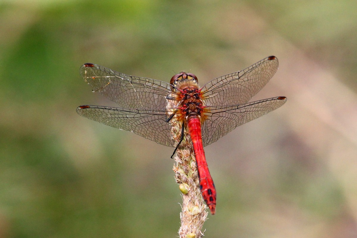 Ruddy Darter (c) David Chivers