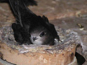 Swift on nest copyright Erich Kaiser.