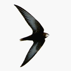 Swift in flight. Courtesy of Larouse Bird Guides.